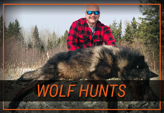 Wolf Hunts with Rainy Lake Outfitters Inc.