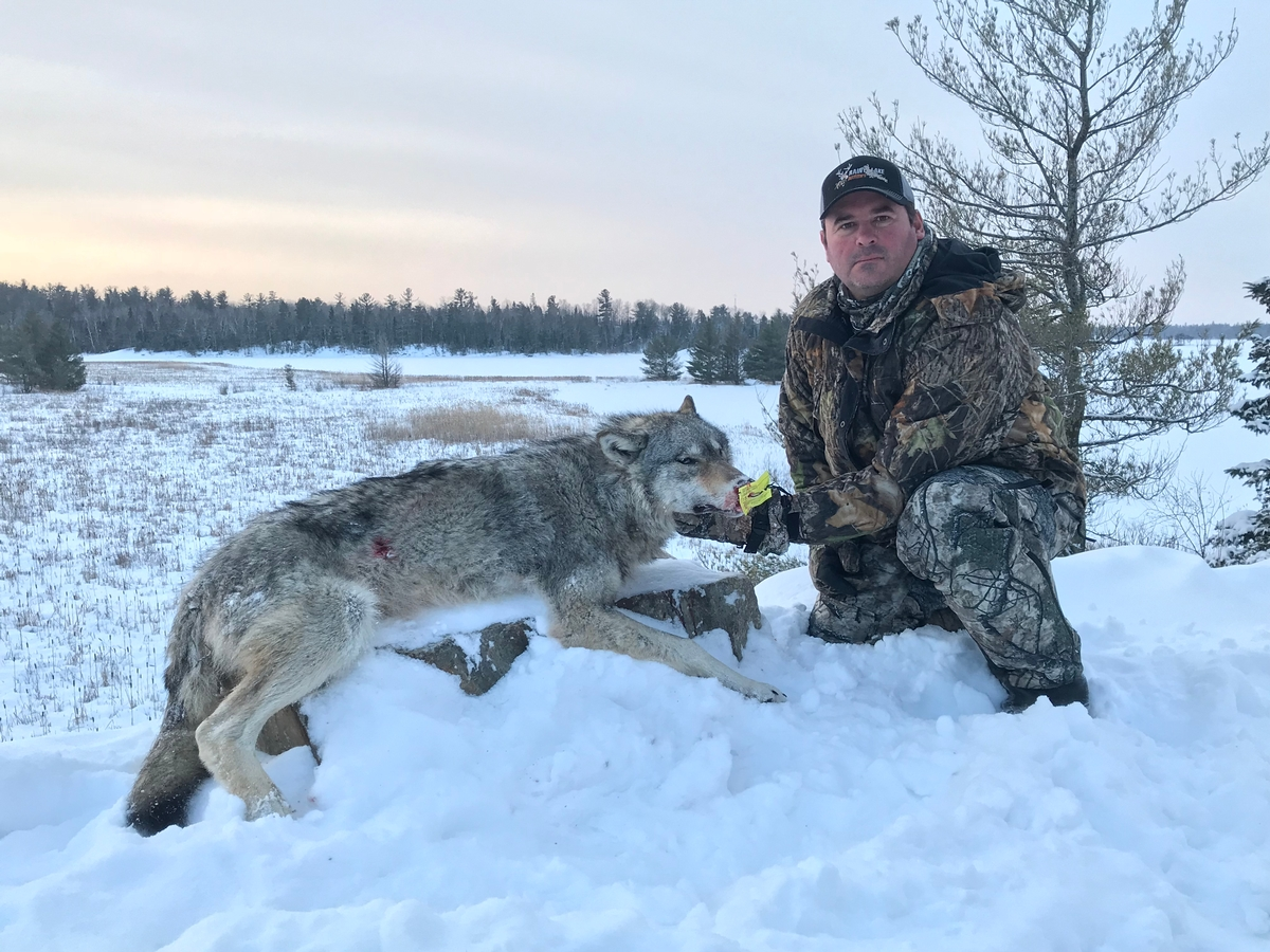 Wolf Hunts Photo